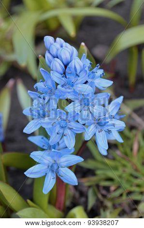 Scilla  flower