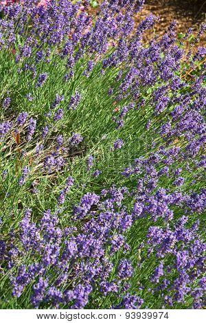 Fragrant Lavender In Summer