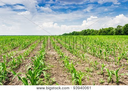 Plantings Of Young Corn