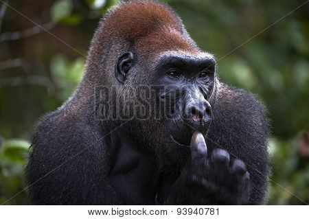 Silverback - adult male of a gorilla. Western Lowland Gorilla.