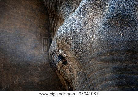 Eye of an elephant with eyelashes.