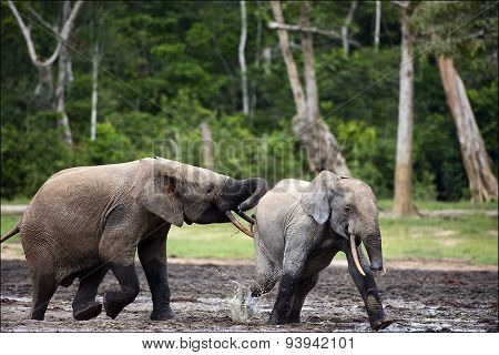 Fighting Elephants in Congo forest. Forest Elephant (Loxodonta africana cyclotis). Congo. Africa