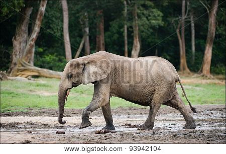 The African Forest Elephant (Loxodonta cyclotis)