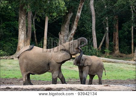The elephant calf drinks at mum from a mouth. The African Forest Elephant (Loxodonta cyclotis)
