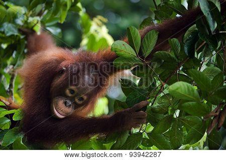Young Orangutan  ( Pongo pygmaeus wurmbii)