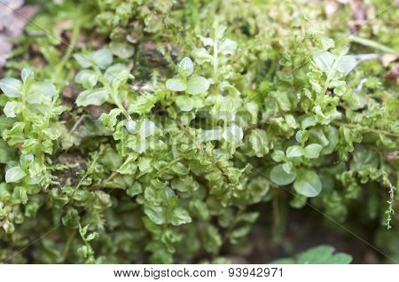 Moss As A Background