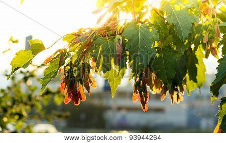 Silver maple, Acer saccarinum