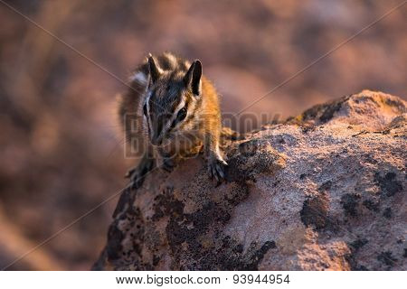 Chipmunk in Bryce Canyon National Park