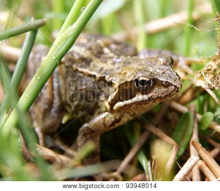 Common European Frog