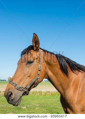 Portrait Of A Watchful Brown Horse In The Meadow