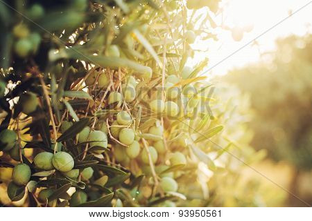 Olives On Olive Tree In Autumn