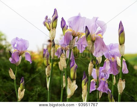 Authentic Landscape Wild Delicate Irises, As Background For Design. Selective Focus And Space In The