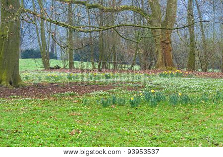 Forest Clearing With Daffodils