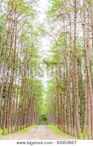 Pine Garden at Chiang Mai Thailand