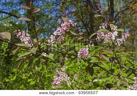Pink Blooming Bird Cherry