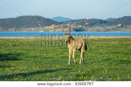 Foal In The Nature Reserve Of Lake Baikal