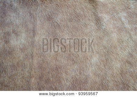 Closeup of cowhide