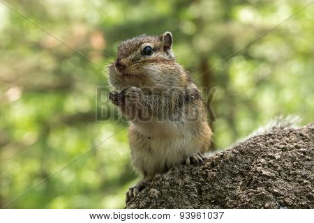Chipmunk Portrait Stone