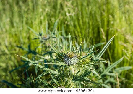 Budding And Flowering Field Eryngo Plant From Close