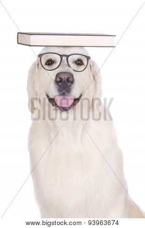 golden retriever dog in glasses with books