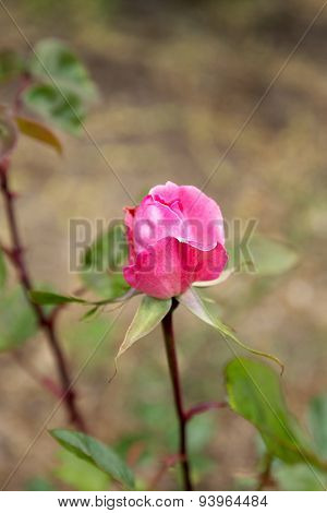 Delicate Pink Rosebud, Bokeh. Soft Selective Focus And Free Space In The Zone Blurring Compositions