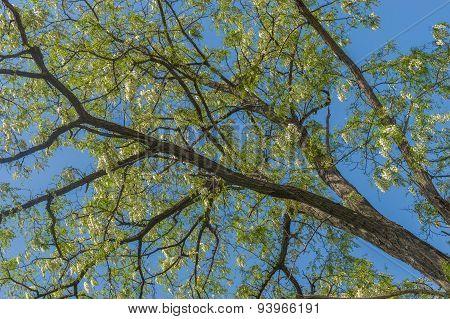 Branch of acacia tree