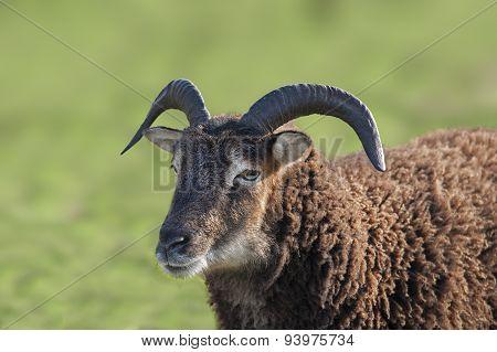 A Black Ram in a field, close up
