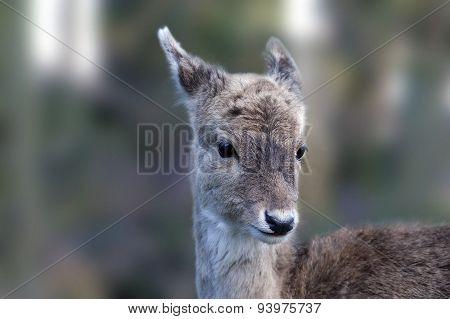 A Roe deer head shot, close up