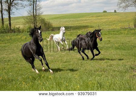 Horses gallop free on Paddock