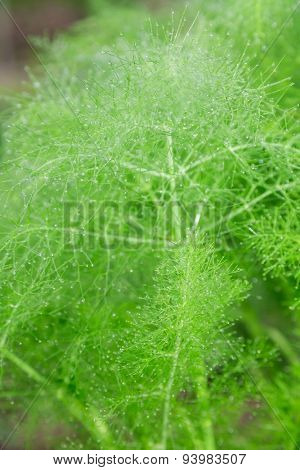 beautiful feathery green leaves of fennel. abstract background