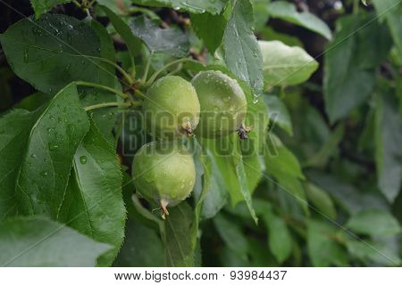 juvenile apples