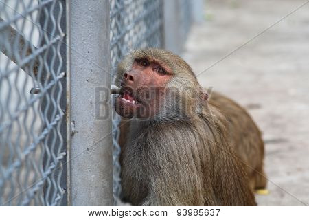 Baboon Drinks Water