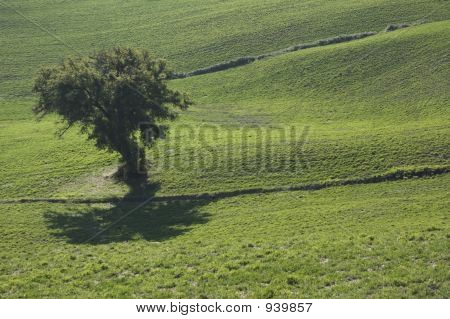 Olive Tree In A Green Field - Typical Tuscan Landscape