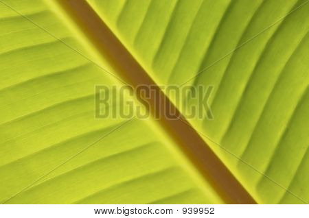 Palm Inclined, Banana Leaf