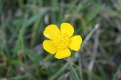 picture of creeping  - Yellow flower of the creeping buttercup or creeping crowfoot - JPG