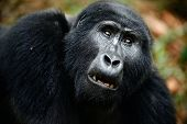 stock photo of gorilla  - Gorillas are the largest of the living primates - JPG