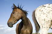 picture of appaloosa  - A beautiful brown horse with a young appaloosa stallion - JPG