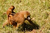 picture of guinea  - Young Guinea baboon in a state of freedom. ** Note: Soft Focus at 100%, best at smaller sizes - JPG