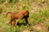 stock photo of guinea  - Young Guinea baboon in a state of freedom - JPG
