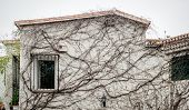 stock photo of ivy  - Exterior of white house covered with dry withered ivy - JPG