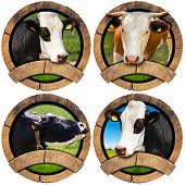 stock photo of cow head  - Four wooden round symbols or icons with space for text and heads of cows - JPG