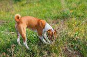 image of valiant  - Basenji dog hunting for rodent in burrow - JPG