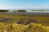 stock photo of algae  - Alga on the bank of the Gulf of Finland - JPG