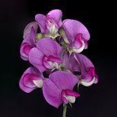 stock photo of sweet pea  - Wild Sweet Pea Flower against a black background - JPG