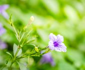 stock photo of petunia  - Purple petunia flowers shot in the morning - JPG