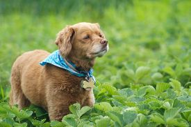 stock photo of cockapoo  - A cute little dog wearing a bandanna standing in a strawberry field - JPG