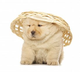 stock photo of chow-chow  - fluffy chow - JPG