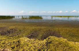 picture of algae  - Alga on the bank of the Gulf of Finland - JPG