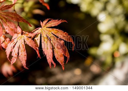 Japanese Red Maple Leaves. Autumn Fall Season Color.