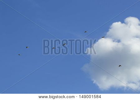 Flock of wild ducks bird flying high in blue sky with white clouds on natural background outdoor